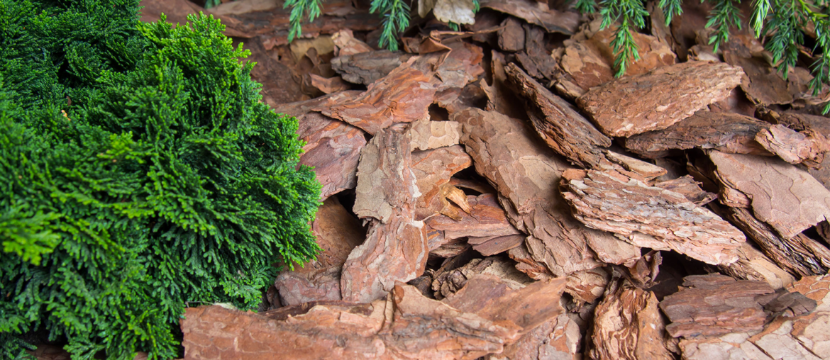25 Health Benefits of Pine Bark Extract